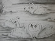 Swans... Drawings - Seven Swans a Swimming by Carol Frances Arthur