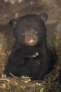 Black Bear Cubs Framed Prints - Seven Week Old Black Bear Cub Framed Print by Suzi Eszterhas