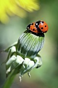 Longhorn Photos - Sevenpoint Ladybeetles Mating On Dandelion by Lacaosa