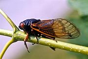 Cicada Posters - Seventeen Year Cicada Poster by Douglas Barnett