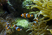Clownfish Prints - Several False Clownfish Amphiprion Print by Todd Gipstein