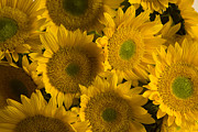 Large Flowers Prints - Several Sunflowers Are Grouped Together Print by Ralph Lee Hopkins