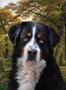 Bernese Mountain Dog Posters - Sezare Poster by Julie L Hoddinott