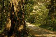 Dirt Roads Photos - Shade-dappled Dirt Road Through Lush by Raymond Gehman