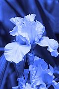 Cathy Beharriell Metal Prints - Shades of Blue Iris  Metal Print by Cathy  Beharriell
