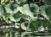 Lotus Flower Prints - Shades Of Green Print by Robert Hooper