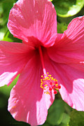 Pink Hibiscus Posters - Shades of Pink - Hibiscus Poster by Kerri Ligatich