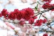 Pink Flower Branch Art - Shades Of Pink Blossom by photo by Marcia Luly