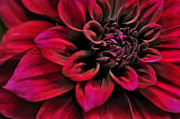 Rhythmic Framed Prints - Shades of Red - Dahlia Framed Print by Kaye Menner