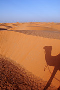 Camel Photos - Shadow of camel on sand dune by Sami Sarkis