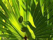 Palmettos Prints - Shadow Play on Palmettos Print by Theresa Willingham