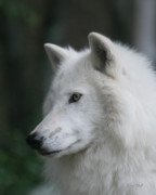Arctic Wolf Photos - Shadow the Alpha by Gerry Sibell