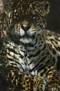 Jaguars Framed Prints - Shadows Flicker Over A Jaguar Panthera Framed Print by Hope Ryden