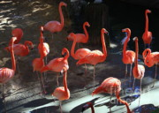 Flamingos Photos - Shadows of Pink Flamingos by Carol Groenen