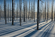 Winterscape Posters - Shadows of the Forest Poster by Sandra Bronstein