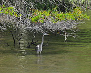 Gray Heron Photos - Shady Heron by Al Powell Photography USA