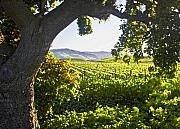 Vineyard Landscape Framed Prints - Shady Vineyard Framed Print by Patricia Stalter
