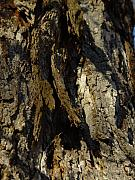 Cummington Photos - Shaggy Bark by Rosemary Wessel