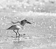 Sandpiper Acrylic Prints - Shakin All Over Acrylic Print by Michelle Wiarda