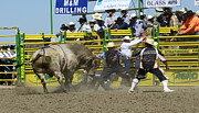 Bull Riding Prints - Shaking It Up Print by Bob Christopher