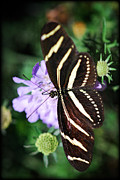 Zebra Butterfly Acrylic Prints - Shape of My Heart  Acrylic Print by Saija  Lehtonen