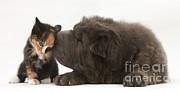 Mark Taylor - Shar Pei Puppy And Kitten