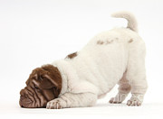 Wrinkly Posters - Shar Pei Puppy Bowing Poster by Mark Taylor