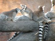 Lemur Photos - Sharing by Christine Belt