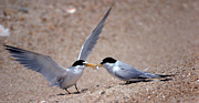 Tern Framed Prints - Sharing Framed Print by Skip Willits