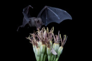 Long Tongue Mexican Bats Acrylic Prints - Sharing with the moth Acrylic Print by E Mac MacKay