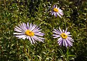 Shark Bay Prints - Shark Bay daisy Print by Tony Brown