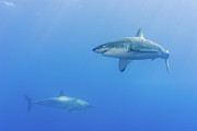 Shark Posters - Shark Infested Waters Poster by Steven Trainoff Ph.D.