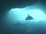 Pacific Islands Prints - Sharks Circling In Cave Print by Chris Stankis