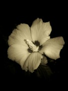 Rose Of Sharon Metal Prints - Sharons Rose Metal Print by Trish Tritz