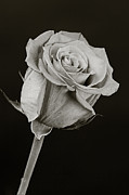 Flower Still Life Prints Photo Framed Prints - Sharp Rose Black and White Framed Print by M K  Miller
