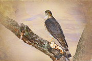 Hawk Digital Art Framed Prints - Sharp-shinned Hawk Framed Print by Betty LaRue