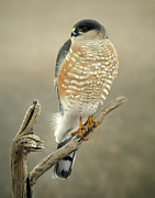 Clarence Stewart - Sharp-shinned Hawk...