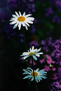Light And Shadow Art - Shasta Daisies by Terril Heilman