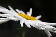 Shasta Daisy Flower Print by Jennie Marie Schell