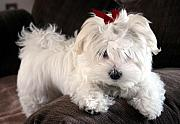 Maltese Puppy Photos - Shayla the Maltese Pup by BJ Redmond