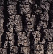Shea Prints - Shea Tree Bark Print by David Pluth