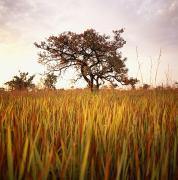 Shea Tree In Field, Near Lira, Uganda Print by David Pluth