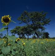 Shea Trees Intercropped With Sunflowers Print by David Pluth