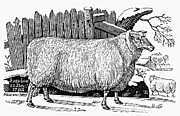 Bewick Metal Prints - Sheep, 1788 Metal Print by Granger