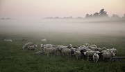 Flock Of Bird Art - Sheep And Morning Fog by Hjbh