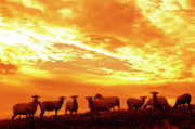 Sheep Farm Prints - Sheep at Sunrise Print by Thomas R Fletcher