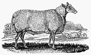 Bewick Metal Prints - SHEEP, c1800 Metal Print by Granger