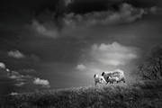 Sheep Photos - Sheep Clouds by Dorit Fuhg