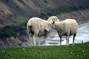 Embracing Prints - Sheep Cuddles Print by Piero Damiani
