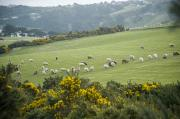 Aotearoa Photo Metal Prints - Sheep Graze On The Otago Peninsula Metal Print by Bill Hatcher